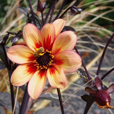 Butinage fleur - photographie Francis Peysson