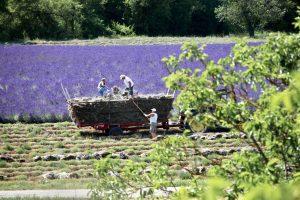 La lavnde un or bleu plante Provence Montjoux La Roche-Saint-Secret-Béconne