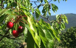 Arbres fruitiers- montagnes - Dieulefit