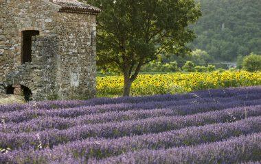lavande -un or bleu en Drôme provençale