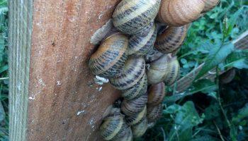 L'escargot de Bezaudun